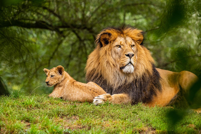 Ban lion guardians